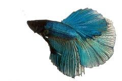 poissons bleus de combat siamois photos libres de droits