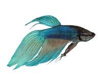 poissons bleus de combat siamois Images stock
