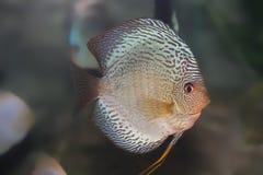 poissons bleus de disque Photo libre de droits