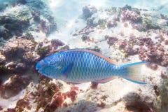 Poissons bleus de perroquet dans l'eau de la mer d'Andaman Images libres de droits