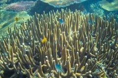 Poissons bleus et jaunes en récif coralien Photo sous-marine d'habitants tropicaux de bord de la mer Image libre de droits