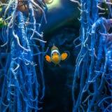 Poissons célèbres d'aquarium les clownfish d'ocellaris photographie stock libre de droits