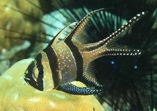 Poissons - cardinalfish de Banggai Images stock