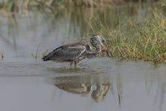 Poissons cinerea de consommation de Grey Heron Ardea photo libre de droits
