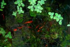 Poissons colorés dans un petit aquarium image stock