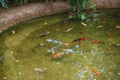 Poissons colorés de koi dans un étang extérieur Étang de rue Images libres de droits