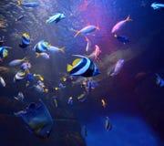 Poissons colorés de photo dans l'eau bleue dans l'aquarium photos libres de droits