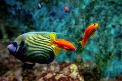 Poissons colorés et coralls tropicaux sous-marins Photo libre de droits