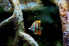 Poissons colorés et coralls tropicaux sous-marins Photos stock