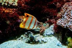 Poissons colorés et coralls tropicaux sous-marins Photo stock