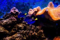 Poissons colorés et coralls tropicaux sous-marins Photographie stock