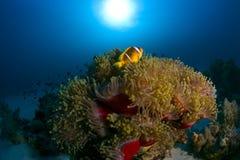 Poissons colorés parmi le récif coralien Image libre de droits