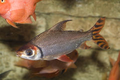 poissons colorés tropicaux Image libre de droits