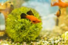 Poissons colorés tropicaux nageant dans l'aquarium avec des usines pêchez dans l'aquarium d'eau douce avec beau vert planté photo stock