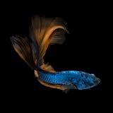 Poissons colorés de Betta, poissons de combat siamois Photos stock