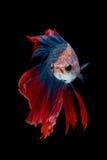 Poissons colorés de Betta, poissons de combat siamois Photos libres de droits