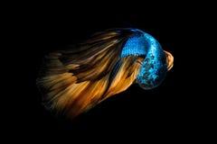 Poissons colorés de Betta, poissons de combat siamois Images libres de droits