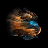 Poissons colorés de Betta, poissons de combat siamois Photographie stock libre de droits