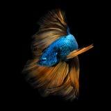 Poissons colorés de Betta, poissons de combat siamois dans le mouvement d'isolement Image libre de droits