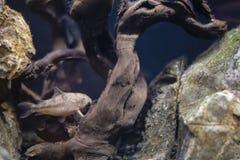 Poissons cory d'eau douce dans l'aquarium à la maison Corydoras nageant dans l'aquarium images libres de droits