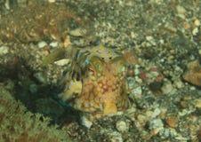 Poissons - cowfish de Longhorn - jeune Photographie stock