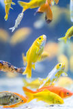 Poissons décoratifs colorés Photographie stock libre de droits