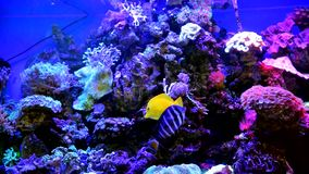 Poissons décoratifs dans un grand aquarium banque de vidéos