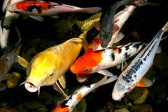 poissons d'étang Image libre de droits