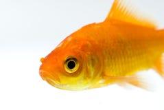poissons d'or Images libres de droits