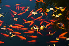 Poissons d'or Photographie stock libre de droits