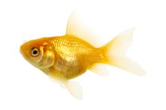 Poissons d'or Photographie stock