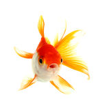Poissons d'or Image stock