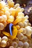 poissons d'anémone Photographie stock