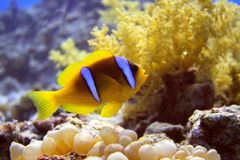 poissons d'anémone Photos stock