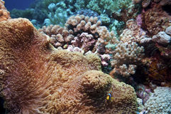 Poissons d'anémone au-dessus du récif coralien, australie Images libres de droits