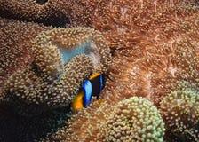 Poissons d'anémone au-dessus du récif coralien, australie Image stock