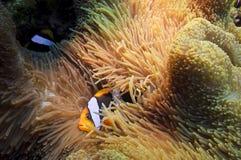 Poissons d'anémone au-dessus du récif coralien, australie Images stock