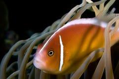 Poissons d'anémone de Nemo Indonésie Sulawesi Image libre de droits