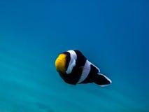 poissons d'anémone en mer bleue Photos libres de droits
