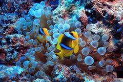 Poissons d'anémone, poissons de clown, Photo libre de droits