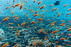 Poissons d'Anthias Photographie stock libre de droits