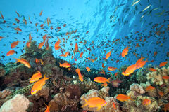 Poissons d'anthias de banc sur le récif coralien Images libres de droits