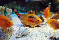 Poissons d'aquarium Photo stock