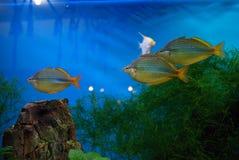 Poissons d'aquarium Photographie stock