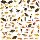 Poissons d'aquarium images libres de droits