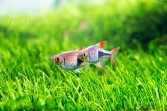 Poissons d'aquarium Images stock