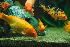 Poissons d'aquarium Photos libres de droits