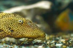 Poissons d'aquarium Photographie stock libre de droits