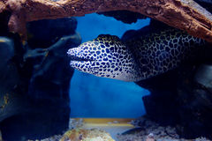 Poissons d'aquarium, anguille de Moray de léopard images stock