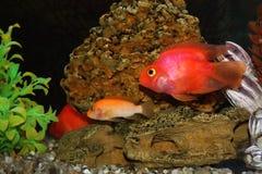 Poissons d'aquarium - barbus Photographie stock